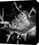 """Butterfly Left"", Photography, Commercial Design, Nature, Photography: Stretched Canvas Print, By Michael C C Bertsch"