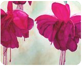 """""""Fuchsia Dreams"""", Paintings, Realism, Botanical, Painting, By William Clark"""