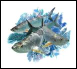 3 Tarpon in the Seafans, Digital Art / Computer Art, Impressionism, Animals, Photography: Premium Print, By Glenn Lathi