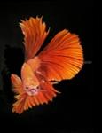 Betta Fish - 2, Paintings, Fine Art,Photorealism,Surrealism, Animals, Canvas,Oil, By Julian Arsenie