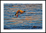 A Colorful Duck In Flight, Photography, Fine Art, Wildlife, Photography: Stretched Canvas Print, By Jim Stewart