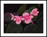 Begonia Grandis, Paintings, Fine Art, Floral, Acrylic,Watercolor, By Angeline Eleccion
