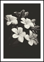 Black and white frangipani, Photography, Fine Art, Botanical,Composition,Decorative,Floral,Still Life,Tropical, Photography: Metal Print,Photography: Photographic Print,Photography: Premium Print,Photography: Stretched Canvas Print, By Benjamin Dupont