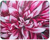 BLOOMING -Dahlia, Paintings, Fine Art,Modernism,Photorealism,Realism, Botanical,Floral,Nature, Acrylic,Canvas, By HSIN LIN