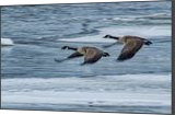 Canada Geese Flying X, Photography, Fine Art, Wildlife, Photography: Stretched Canvas Print, By Jim Stewart