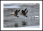 Canada Geese Flying X1, Photography, Fine Art, Wildlife, Photography: Stretched Canvas Print, By Jim Stewart