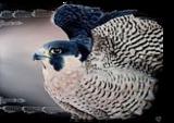 Falcon, Paintings, Realism, Animals, Oil, By Veronika Dika