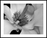 Magnolia bloom, Photography, Fine Art, Botanical, Photography: Photographic Print, By Glenn Grossman