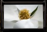 Magnolia Flower, Photography, Fine Art, Botanical,Floral,Nature,Still Life, Photography: Photographic Print,Photography: Premium Print, By Nathan Little
