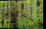 Northwest Forest, Photography, Fine Art,Photorealism, Landscape,Nature, Photography: Premium Print, By Mike DeCesare
