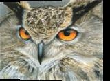 Orange Eyed Owl, Drawings / Sketch,Paintings, Photorealism,Realism, Animals,Nature,Wildlife, Painting,Pencil, By Carla Kurt