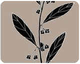 Paper Berry (also known as Emu Berry or Dysentery Bush) - Grewia retusifolia, Digital Art / Computer Art,Drawings / Sketch,Illustration, Fine Art, Botanical,Environmental art,Nature, Digital,Ink,Mixed,Pencil, By William (Bill) Gregory Ivinson