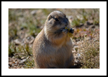 Prairie Dog 1, Photography, Fine Art, Animals, Photography: Photographic Print, By Jim Stewart