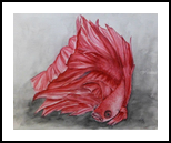 Red Beta Fighting Fish, Paintings, Fine Art,Realism, Animals, Painting,Watercolor, By Kelly A Mills
