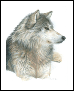 Relaxing Wolf, Drawings / Sketch,Paintings, Photorealism,Realism, Animals,Nature,Wildlife, Painting,Pencil, By Carla Kurt
