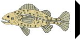 Rock Cod, Decorative Arts,Digital Art / Computer Art,Drawings / Sketch,Illustration, Fine Art, Nature,Seascape,Spiritual, Canvas,Digital,Ink,Mixed, By William (Bill) Gregory Ivinson
