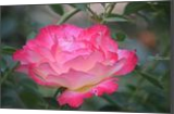Rose, Photography, Fine Art, Floral, Photography: Photographic Print, By Jim Stewart