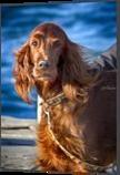 Setter dog on the pier, Digital Art / Computer Art,Photography, Photorealism, Animals,Portrait, Digital, By Giuseppe 23 Esposito