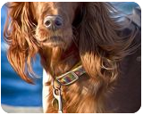 Setter dog on the pier, Digital Art / Computer Art,Photography, Photorealism, Animals,Portrait, Digital, By Giuseppe 23 Esposito
