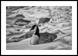 Sitting In Snow BW, Photography, Fine Art, Wildlife, Photography: Premium Print, By Jim Stewart