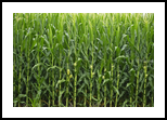 Summer's Corn Cobbs, Photography, Photorealism, Nature, Photography: Photographic Print, By Rich Mengel