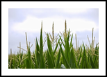 Summer's Corn Tassels, Photography, Photorealism, Landscape,Nature, Photography: Photographic Print, By Rich Mengel