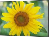 sunflower, Photography, Fine Art, Floral, Photography: Photographic Print, By Scott Cone