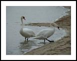 swans, Photography, Photorealism, Animals, Photography: Photographic Print, By yevgeniya petrenko