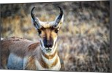 The Face Of A Pronghorn Buck, Photography, Fine Art, Wildlife, Photography: Stretched Canvas Print, By Jim Stewart