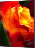Vibrant Rose, Photography, Abstract,Fine Art,Photorealism,Romanticism, Botanical,Floral,Landscape,Nature,Still Life, Photography: Metal Print,Photography: Photographic Print,Photography: Premium Print,Photography: Stretched Canvas Print, By Nathan Little