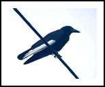 White Winged Crow, Photography, Realism, Animals, Photography: Photographic Print, By Amy Longley