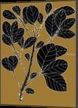 Wild Prune - Pouteria Sericea, Digital Art / Computer Art,Drawings / Sketch,Illustration, Fine Art, Botanical,Environmental art,Floral,Nature, Digital,Ink,Mixed,Pencil, By William (Bill) Gregory Ivinson