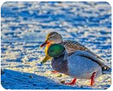 Winter Love, Photography, Fine Art, Wildlife, Photography: Premium Print, By Jim Stewart