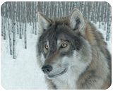 Wolf in Aspens, Drawings / Sketch, Fine Art, Animals,Nature,Wildlife, Painting,Pencil, By Carla Kurt