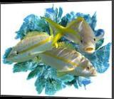 Yellowtail in the seafans, Digital Art / Computer Art, Impressionism, Animals, Photography: Premium Print, By Glenn Lathi