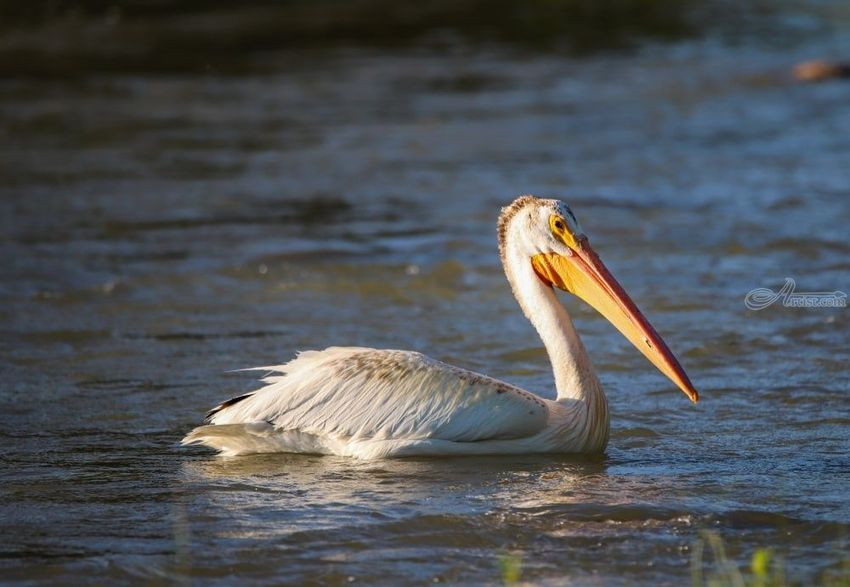 American White Pelican, Photography, Fine Art, Animals, Photography: Stretched Canvas Print, By Jim Stewart