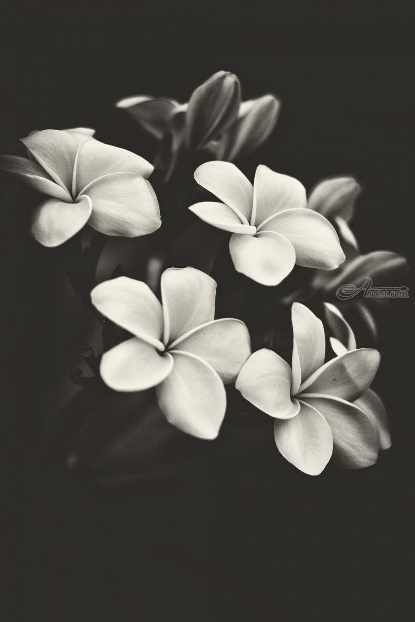 Black And White Frangipani Photography By Benjamin Dupont Artist