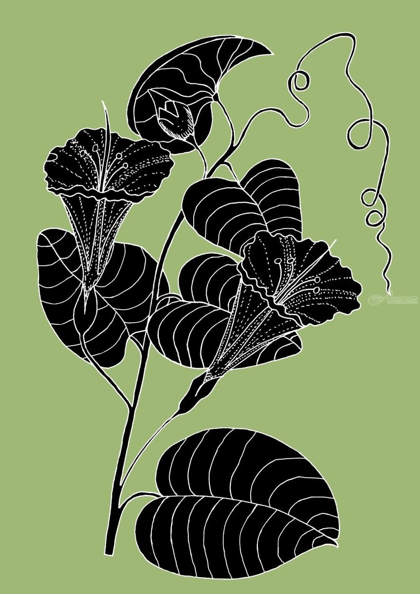 Bush Potato (Also known as Desert Yam)  - Ipomoea costata, Digital Art / Computer Art, Drawings / Sketch, Illustration, Fine Art, Botanical, Environmental art, Nature, Digital, Ink, Mixed, Pencil, By William (Bill) Gregory Ivinson