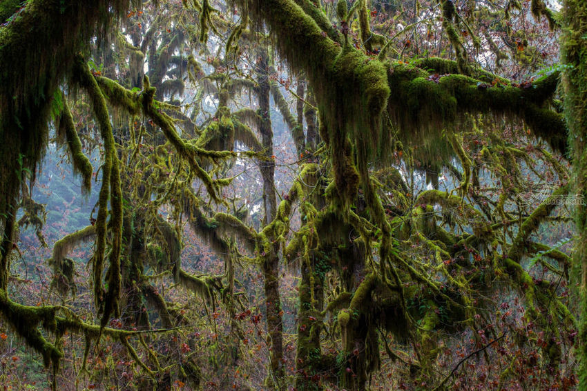 Hoh Rain Forest, Photography, Photorealism, Landscape, Photography: Premium Print, By Mike DeCesare