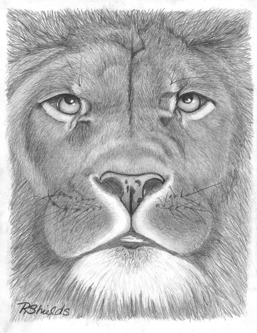 Lion 2 drawings sketch realism animals wildlife pencil by