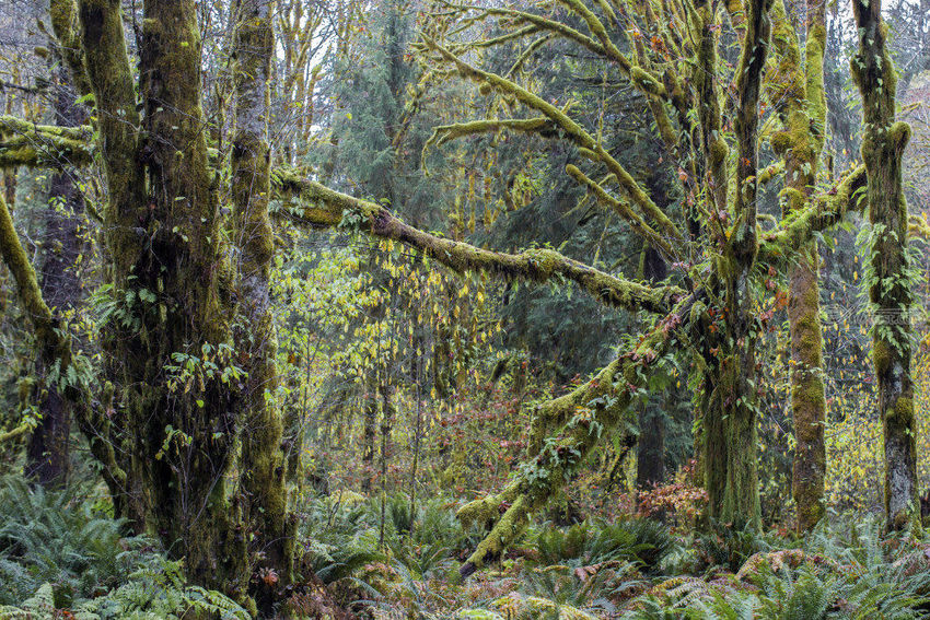 Quinault Rain Forest, Photography, Fine Art, Realism, Landscape, Digital, By Mike DeCesare