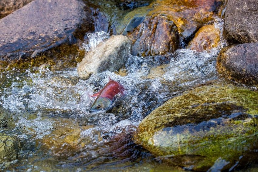 Spawning Salmon, Photography, Realism, Animals, Seascape, Digital, By Mike DeCesare