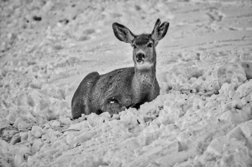 Triple Ear Deer In Black And White, Photography, Fine Art, Wildlife, Photography: Stretched Canvas Print, By Jim Stewart