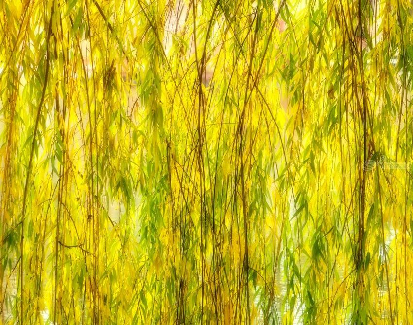 Willow, Photography, Photorealism, Botanical, Floral, Landscape, Photography: Premium Print, By Mike DeCesare