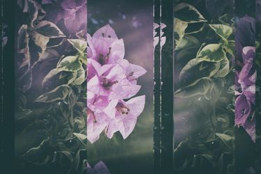 Bougainvillea Collage, Collage,Photography, Minimalism,Modernism, Botanical,Composition,Decorative,Floral,Nature, Photography: Metal Print,Photography: Photographic Print,Photography: Premium Print,Photography: Stretched Canvas Print, By Ira Silence