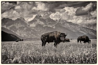 Delayed Bison Evolution<br>Captured: Grand Teton National<br>Park, Photography, Fine Art, Animals, Mixed, By Anatoli Krasko