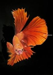 Betta Fish - 2, Paintings, Fine Art,Photorealism,Surrealism, Animals, Canvas,Oil, By Julian Arsenie