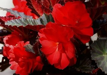 Begonia Bouquet, Photography, Photorealism, Decorative,Floral,Nature,Still Life, Digital,Photography: Metal Print,Photography: Photographic Print,Photography: Premium Print,Photography: Stretched Canvas Print, By Tracey Vivar