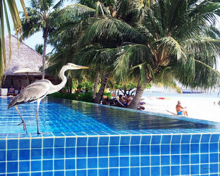 Bird/maldives