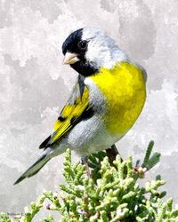 GOLDFINCH, Digital Art / Computer Art, Realism, Animals, Digital, By William Clark